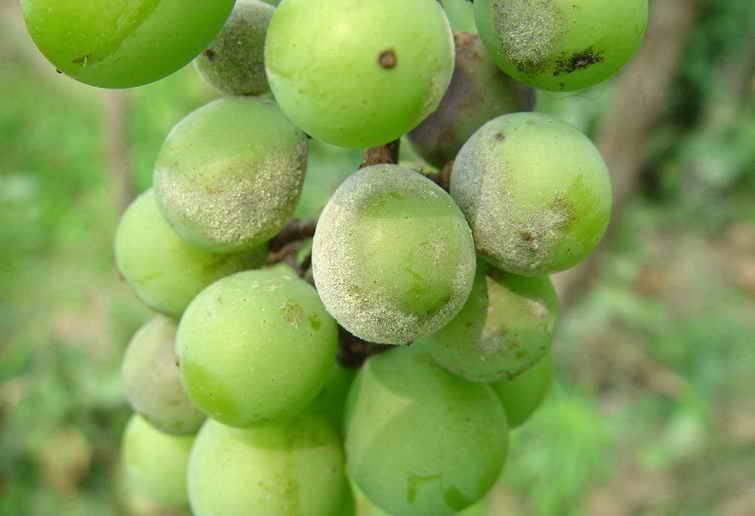 葡萄树常见病虫害图片