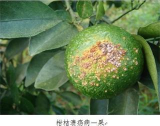 柑橘树常见病虫害图片