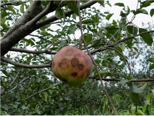 陕西安德瑞普公司向您宣传苹果树病虫害防治知识